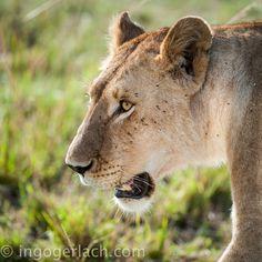 The Light in the Eyes. | Masai Mara. | Kenya. |  More pics www.shgop.ingogerlach.de