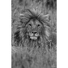 Bold and exciting, this black and white print features a regal lion sitting in the grasses.  The picture was taken by wildlife photographer Charlie Hamilton James. The print on 4 mm tempered safety glass offers superior safety and strength.