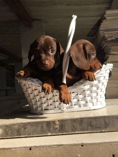 Chocolate and tan dachshund pups Funny Dachshund, Dachshund Puppies, Cute Dogs And Puppies, Daschund, Miniature Dachshunds, Wire Haired Dachshund, Cute Funny Animals, Puppy Love, Baby Animals