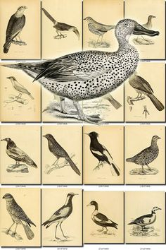 BIRDS-37-bw Collection of 237 black-and-white vintage Finches High resolution pictures digital download printable animals illustration           data-share-from=listing        >           <span class=etsy-icon