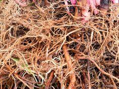 Φτιάχνω μόνος μου: σπορά φύτεμα καλλιέργεια βότανα κατασκευές αποθήκευση τροφίμων επιβίωση: Φυσικά ενισχυτικά ριζοβολίας μοσχευμάτων