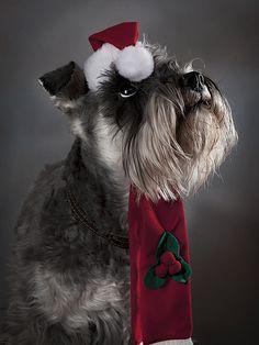 christmas schnauzer pictures - Pesquisa Google