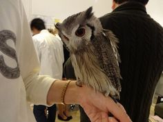 Feather cafe in japan- interact with domesticated owls!
