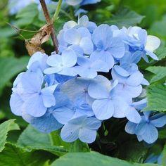 Beautiful blue! Lindo azul! #hydrangeas #hortensia #flower #flores #mygarden #growsomething #nature #naturelovers #natureza #protect #preserve #respect #awareness #hope #sustainability #sustentabilidade #sustainablefuture #futurosustentavel #love #amor by sustainablefuture http://ift.tt/1Nz5he6
