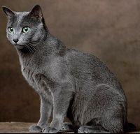 """Russian Blue Cat- """"ninny"""""""