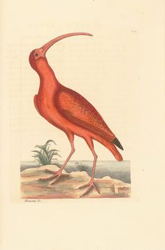 Catesby Red Curlew Vintage Bird Prints giclee art print reproduction on fine heavy paper with deep, rich saturated colors. Available in different sizes, unframed or framed in gold or silver leaf wood frame or vintage open grain dark wood frame. Custom sizes available. Made in USA by Museum Outlets American Illustration, Illustration Art, Queen Of England, In The Tree, Early American, Natural History, Museum, Florida, Antiques
