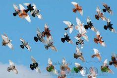 Фото голубей в полете
