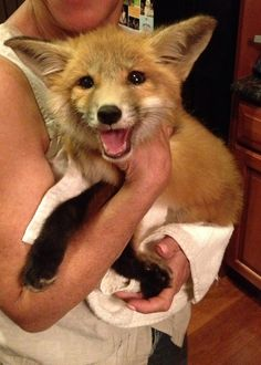 Foxes are not often seen as your traditional pet, but when they're this friendly, it's hard to imagine why. 1. They are the MOST ADORABLE little babies in the entire world. i.imgur.com 2. And their fluff is literally full of absolutely undeniable cuteness...