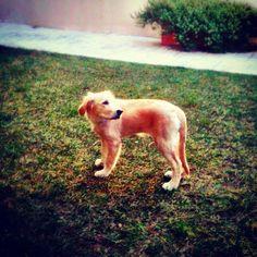 Goldie, golden retriever