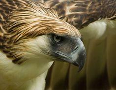 fairy-wren:  philippine eagle (photo by paul mcleery)