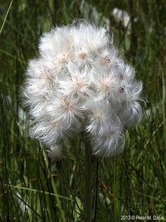 Petasites frigidus (Sweet Coltsfoot): Minnesota Wildflowers