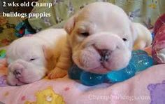 Image result for english bulldogs puppies