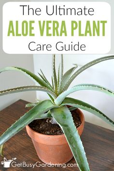 Whether you're growing aloe vera indoors or outdoors, the care is the same. Learn how to grow aloe vera in this detailed aloe vera plant care guide.
