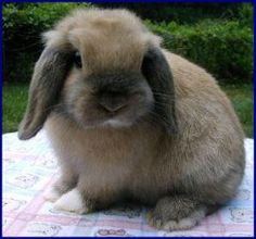Holland Lop Rabbit. Pretty much the cutest rabbit EVER!!