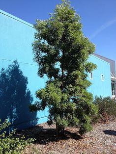 asplenifolius) grows narrow and upright as a youngster. Guadalupe Island, Santa Cruz Island, Architectural Plants, Flora Grubb, California Native Plants, Unique Trees, Tropical Garden, Garden Plants, Landscaping