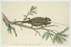 Namaqua kameleon (Chamaeleo namaquensis), toegeschreven aan Robert Jacob Gordon, 1777 - 1786