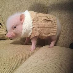 Meet Pumpernickel. He's a mini-pig with a nice Instagram following and it's easy to see why he's so popular. For starters, his style is on point. | Pumpernickel The Mini-Pig Will Give You Life
