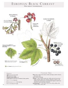 European Black Currant. These are pages from the book Foraging & Feasting: A Field Guide and Wild Food Cookbook by Dina Falconi and illustrated by Wendy Hollender. Published by Botanical Arts Press. Learn more about the book and how to purchase at www.botanicalartspress.com.