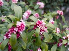 DAPHNE ODORA/WINTER DAPHNE - I Would Not Have You Otherwise