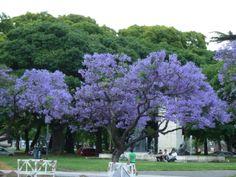 Jacarandas, Buenos Aires.