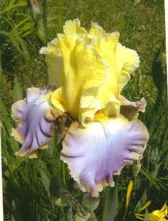 Purple and Yellow Iris on Blank Photo Note Card от TheOldBarnDoor