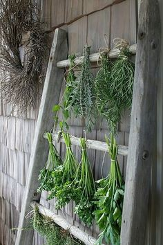 Drying herbs on an old ladder