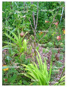 Pear Trees, Fruit Trees, Edible Garden, Easy Garden, Organic Gardening, Gardening Tips, Urban Gardening, Vegetable Gardening, Sustainable Gardening