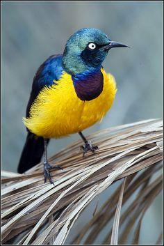 Royal Starling Bird