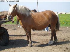 Estonian Draught - mare Vaade