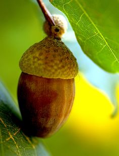 From little acorns mighty oaks do grow. by chezza61 on Flickr.