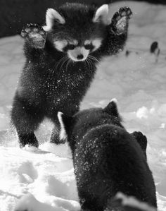 """Tanuki in the snow.  """"The more real they are to me, the more real and warm and alive I feel. I feel a closeness in just being humans together. It doesn't matter who they are … I feel like I can accept them as part of my world."""" -- http://www.elephantjournal.com/2014/06/creating-connection-beyond-the-trance-of-the-unreal-other/"""