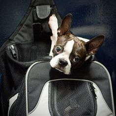Kino, o Terrier Boston de Ricky e Ana, voltando ao Rio ontém à noite na barca na mochila dele.  Kino, Ricky and Ana's Boston Bull Terrier, returning to Rio on the ferry last night in his rucksack.   She is a successful and versatile television and film actress, as well as a singer, award nominated musical theatre performer, choreographer ,voice artist and writer. - www.jogalloway.com Boston Bull Terrier, Musical Theatre, The Voice, Rio, Musicals, Writer, Singer, Actresses, Night