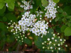 Spiraea  'Summersnow'Floraison juin juillet