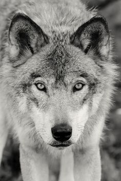 "wolfsheart-blog: ""Wolf Portrait by G. O'Brien """