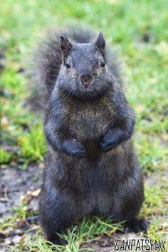 Black Squirrel by CanPatsFan, via Flickr