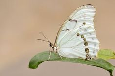 Morpho Polyphemus - White Morpho Butterfly