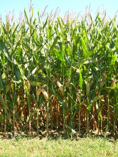 Field corn and sweet corn, What is the difference?
