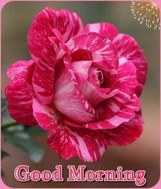 Lovely Good Night, Good Night Image, Good Morning Good Night, Morning Wish, Beautiful Morning, Good Morning Images, Tulips Flowers, Love Flowers, Good Morning Roses