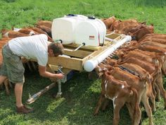 Now that is bottle feeding some babies...wow! I did 7 bottle baby calves at one time but this...well this is something!