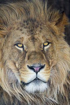 Another nice portrait of lion Louis Tambako the Jaguar
