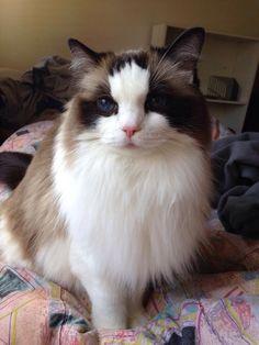 Ragdoll cat. Mia