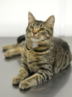 Meet Andre a Petfinder adoptable Tabby - Brown Cat   Springfield, IL   Sangamon County had an anonymous party donate money to subsidize adoption fees on all cats over one...