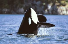 Orca Whale: to love and be free.