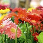 Who does not love a beautiful daisy in their garden? Get Gerber Daisy (Gerbera jamesonii) seeds here at Sheffields Seed.