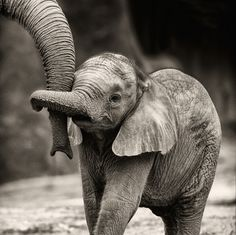 I mean, come on! Those big floppy ears, that itty-bitty trunk grasping Mama's trunk is just too cute for words.