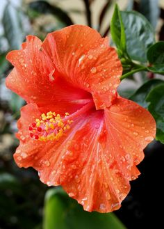 One of my favorite flowers, the hibiscus, which also makes great teas. Tropical Flowers, Hawaiian Flowers, Hibiscus Flowers, Exotic Flowers, Orange Flowers, Tropical Plants, Amazing Flowers, Beautiful Flowers, Lilies Flowers