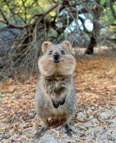 The quokka is the happiest animal on Earth! Happy Animals, Cute Baby Animals, Animals And Pets, Funny Animals, Wild Animals, Amazing Animals, Animals Beautiful, Quokka Animal, Australia Animals