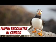 Seeing puffins in Elliston, Canada is unlike anything I've ever experienced. I highly recommend taking a trip here when visiting Newfoundland! Newfoundland Canada, Atlantic Canada, Nova Scotia, Day Trip, British Columbia, Travel Usa, Places To See, National Parks, Coast