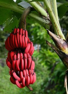 Red banana is one of the most popular fruit in the recent days. It is usually known with it's so small size. Andwhat is red banana? What are the benefits of red banana? Fruit And Veg, Fruits And Veggies, Fresh Fruit, Red Banana Tree, Pink Banana, Banana Fruit, Banana Seeds, Banana Plants, Beautiful Fruits