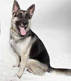 Meet Trisha, a German Shepherd Dog • Young • Female • Medium Size • Dog • at the Woods Humane Society San Luis Obispo, CA